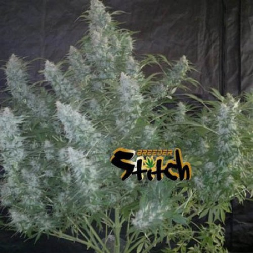 White Sirius - Flash Seeds