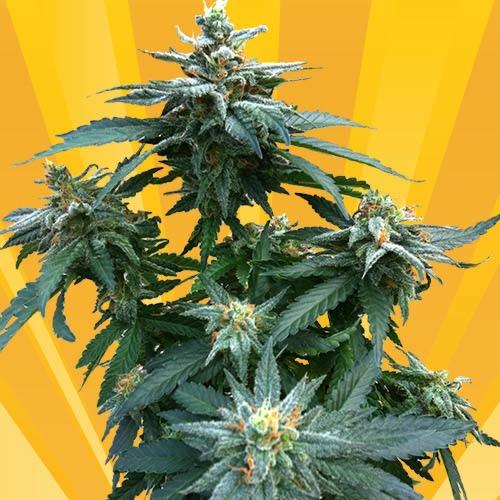 Dr. Kush - Freedom of Seeds