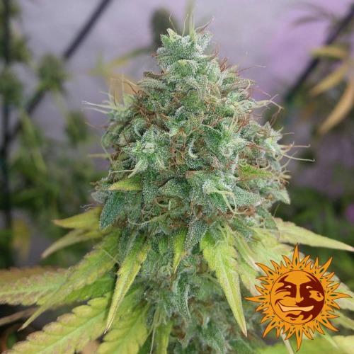 G13 Haze cannabis plant - Barney's Farm