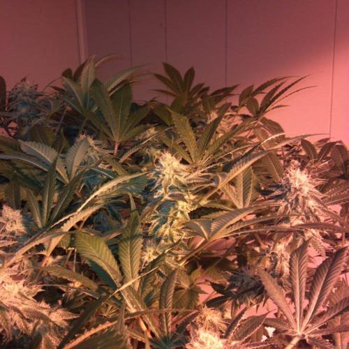 Raw Diesel - G13 Labs wietplanten in kweekruimte