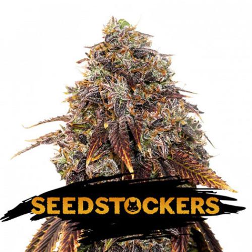 Gelato 41 - Seedstockers