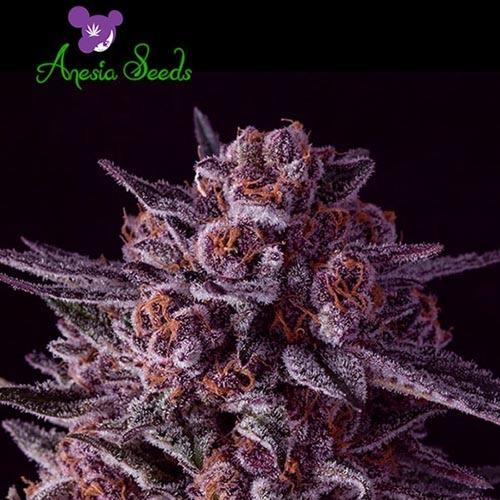 Gelato Dream - Anesia Seeds
