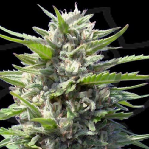 Northern Lights Auto - Genehtik Seeds autoflower