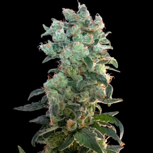 Santa Bilbo - Genehtik Seeds lange wiet top