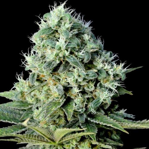 Santa Bilbo - Genehtik Seeds