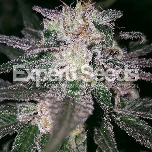 Gorilla Cookies - Expert Seeds
