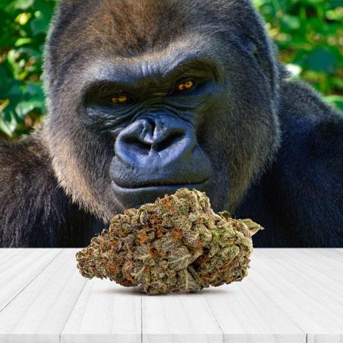 Gorilla Glue Autoflower wiet