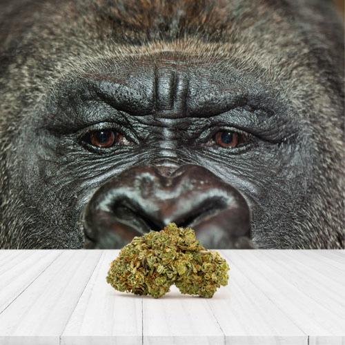 Gorilla Glue Huismerk wiet