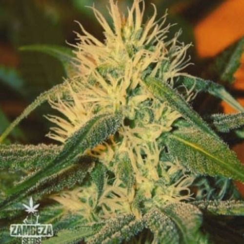 Green AK XL - Zambeza Seeds bloeiperiode