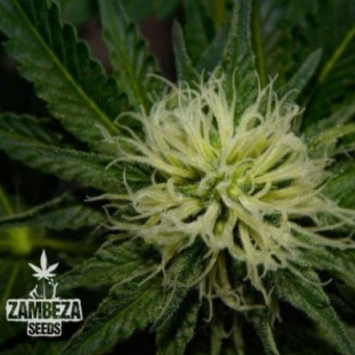 Green AK XL - Zambeza Seeds wiet top close up