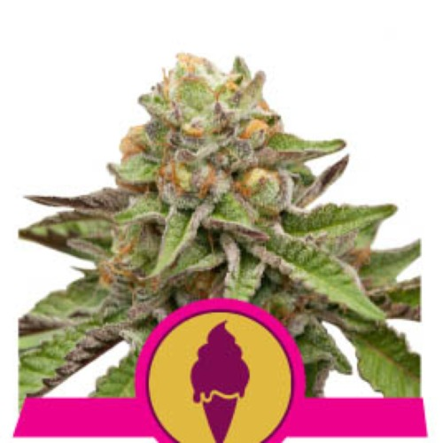 Green Gelato - Royal Queen Seeds