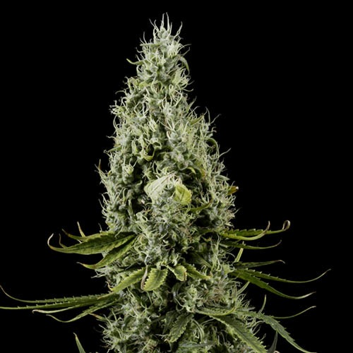 Arjan's Haze #3 - Green House Seeds