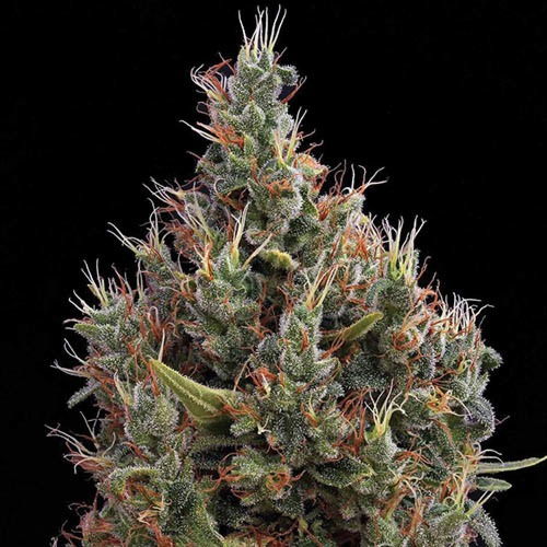 Big Bang Autoflower - Green House Seeds