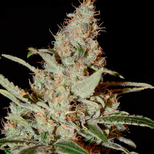 Chemdog - Green House Seeds