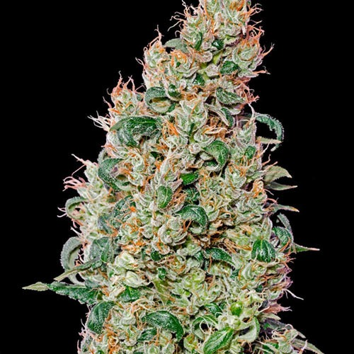 Green O Matic Autoflower - Green House Seeds