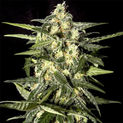Jack Herer Auto - Green House Seeds