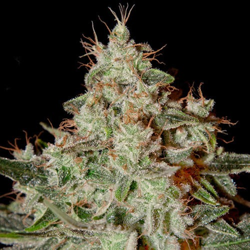 Lemon Skunk - Green House Seeds - THC op wiet