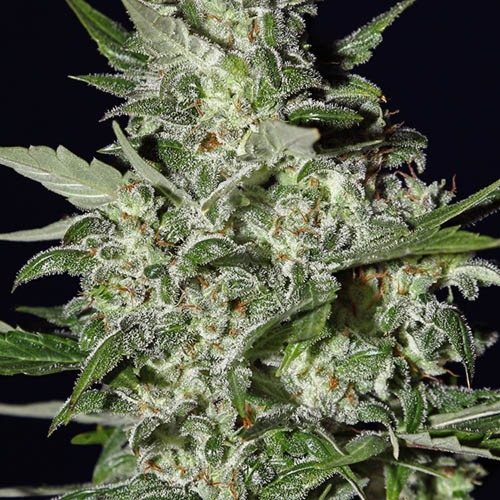 Super Critical Autoflower - Green House Seeds