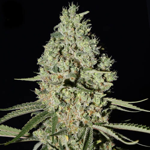 Super Critical - Green House Seeds