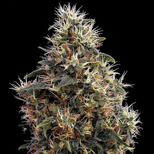 Sweet Mango Autoflower - Green House Seeds