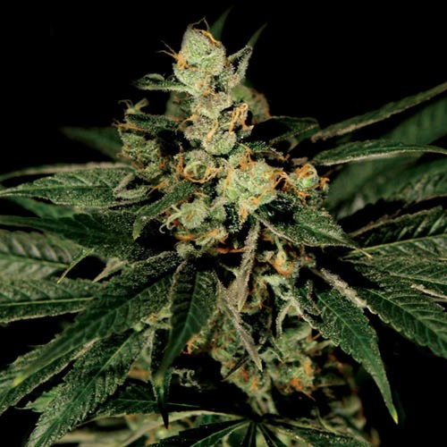 Train Wreck - Green House Seeds