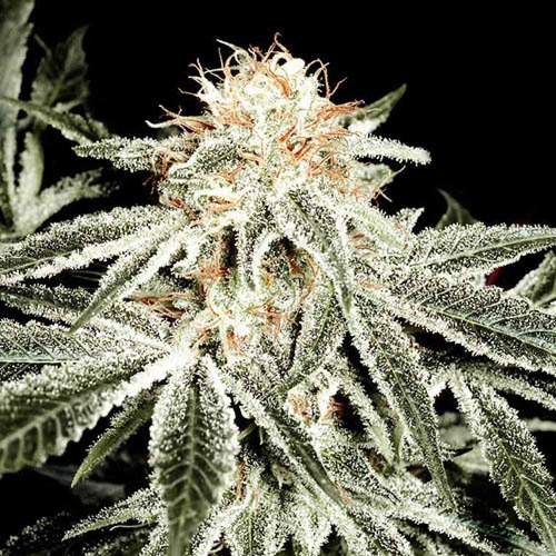 White Widow - Green House Seeds