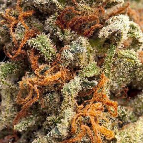 Greengo Bio Haze Auto - Kera Seeds