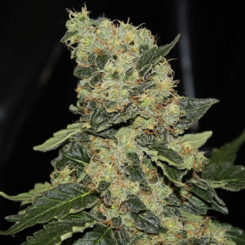 Berry Delight - Greenlabel
