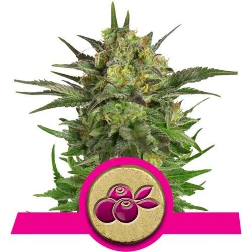 Haze Berry - Royal Queen Seeds feminised wietplant