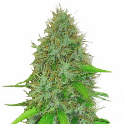 2 Fast 2 Vast Auto - Heavyweight Seeds