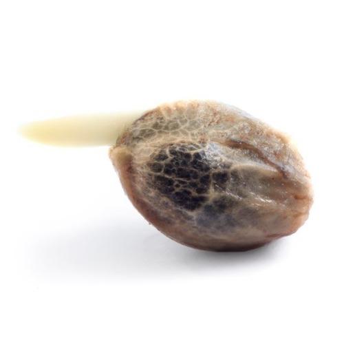 Cannabis zaadje Honey Cream Fast Flowering van Royal Queen Seeds
