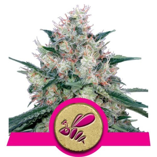 Honey Cream Fast Flowering strain - Royal Queen Seeds