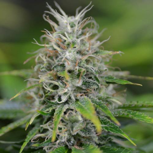 Amnesia Haze - Huismerk Wietzaadjes.nl cannabis wiet top