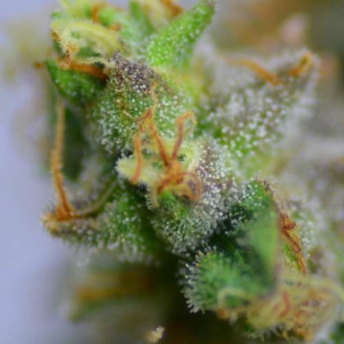 Purple Haze - Huismerk Wietzaadjes.nl close up thc