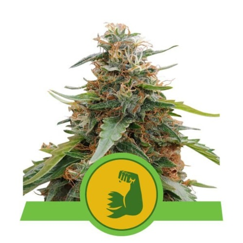 Hulkberry Auto - Royal Queen Seeds