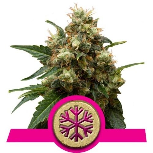 Ice strain - Royal Queen Seeds