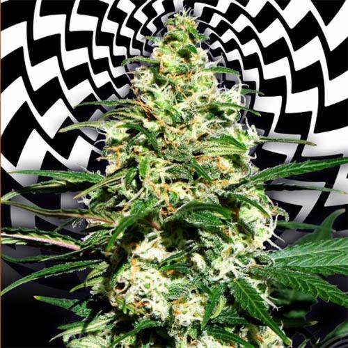 Amnesi-K Lemon - Kannabia cannabis bud close up