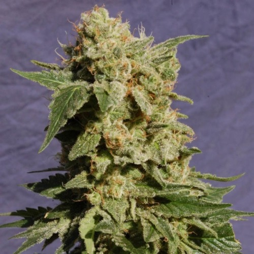 Diesel Glue - Kannabia top wietplant bloeitijd