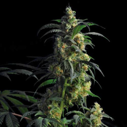 Domina Haze - Kannabia wiet plant kweken top