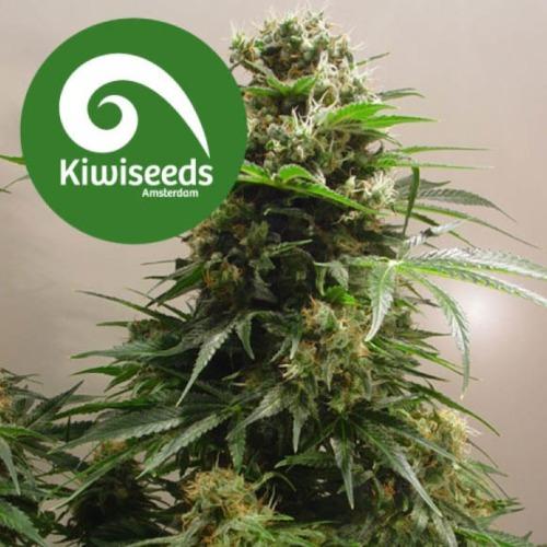 Kiwiskunk - Kiwi Seeds