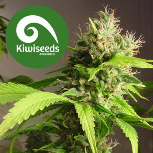 Mako Haze - Kiwi Seeds