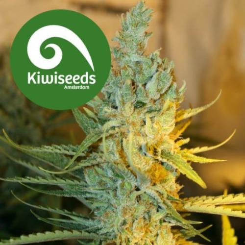 Ray's Choice - Kiwi Seeds