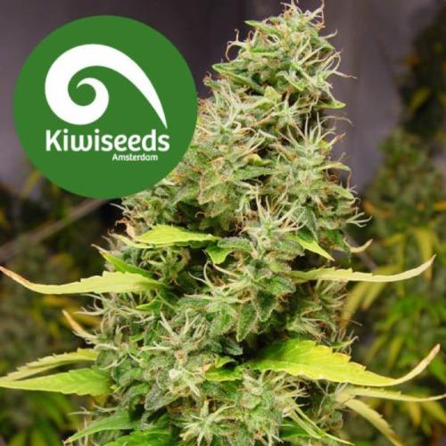 White Island - Kiwi Seeds