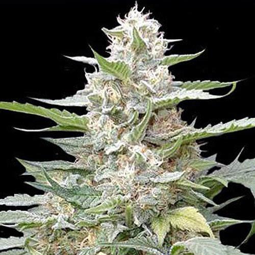 Lemon Amber Kush - G13 Labs wietplant in bloei