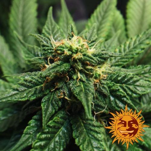 LSD cannabis plant - Barney's Farm