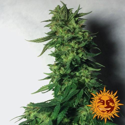 LSD top - Barney's Farm