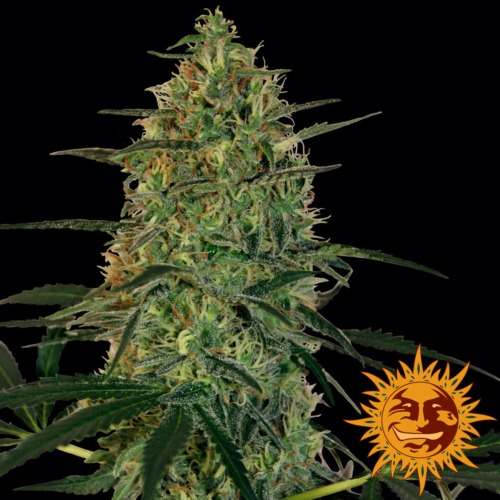 Malana Bomb autoflower - Barney's Farm
