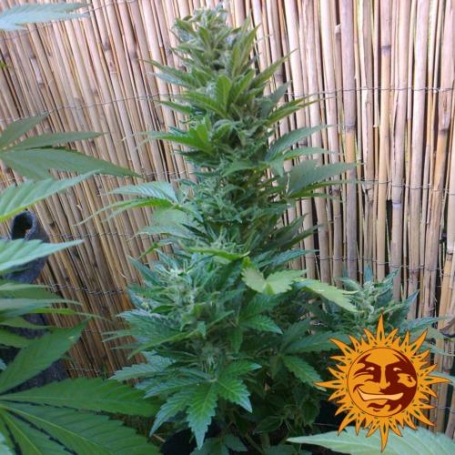 Malana Bomb autoflower buiten kweken - Barney's Farm