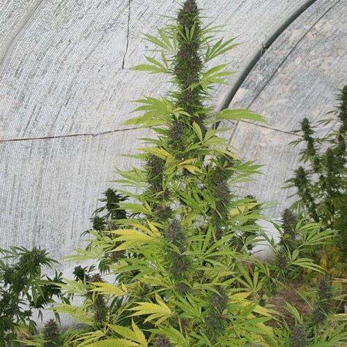 Wietplant in kas van de Malawi X PCK van Ace Seeds