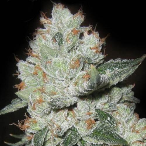 Medical OG Kush - Kera Seeds